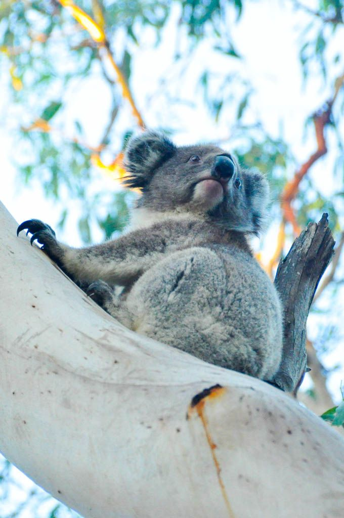 We saw so many koalas at Cape Otway, known as one of the best spots for wildlife spotting along the Great Ocean Road  // www.hummingbirdaway.com