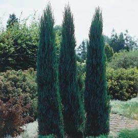 Genévrier 'Blue arrow'. Le Juniperus scopulorum 'Blue arrow' se distingue à sa forme pyramidale très allongée et fournie à la base. De croissance rapide, son feuillage persistant et fin, est doux au toucher et de teinte bleuté. N'apprécie pas l'ombre. A planter à l'abri du vent, il est conseillé de le tuteurer les premiers hivers. Ce Juniperus se plante en isolé, en rocaille, en bac et en massif associé à d'autres conifères voir avec des vivaces. Ce conifère ne nécessite aucune taille.