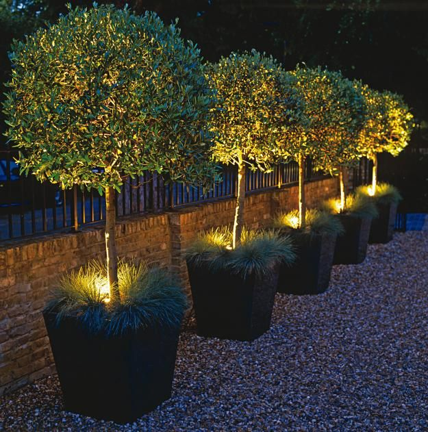 Halogen spots highlight potted olive trees.