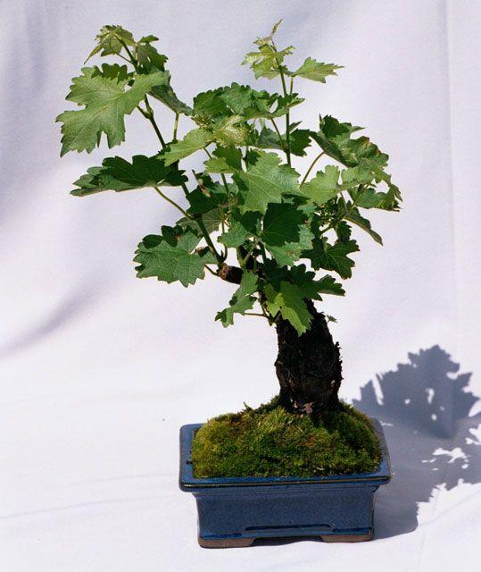 Wine Grape Bonsai Tree