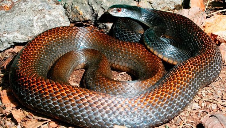 Papuan Taipan, found in Australia. A herpetologist was killed capturing and milking one of these snakes, in order to make an anti-venom.