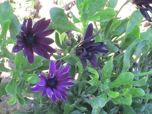 Mittagsblume (lat. Dorotheanthus)