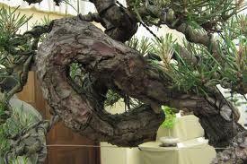 """Βοτανολόγιο: Pinus Marinitus και Πυκνογενόλη. Το """"tuboflo"""" των ..."""