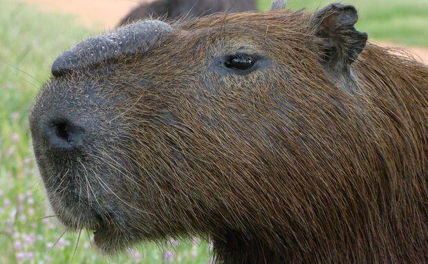 O maior roedor do mundo é muito comum no Pantanal. As capivaras (Hydrochoerus hydrochaeris) vivem em grupos liderados por um macho dominante (foto). Ele esfrega sua glândula sebácea (localizada entre o nariz e os olhos) na vegetação para deixar claro que aquele território é propriedade dele