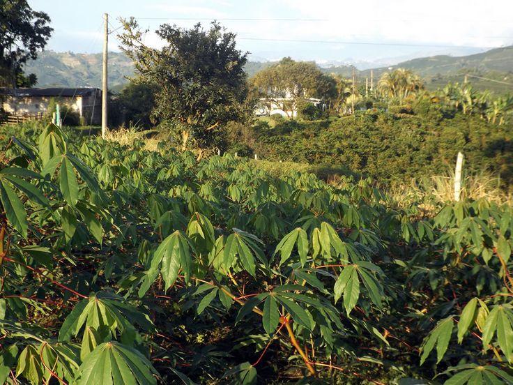 Los cultivos de yuca a borde de carretera. ¿Necesitas fotos como esta para el contenido de tu web? Visita: www.laweb.com.co/contenido-web/