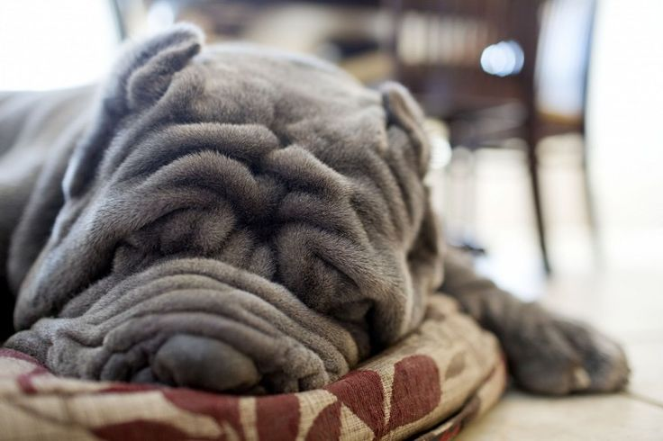 One Neapolitan mastiff does it all for the show | HamptonRoads.com ...