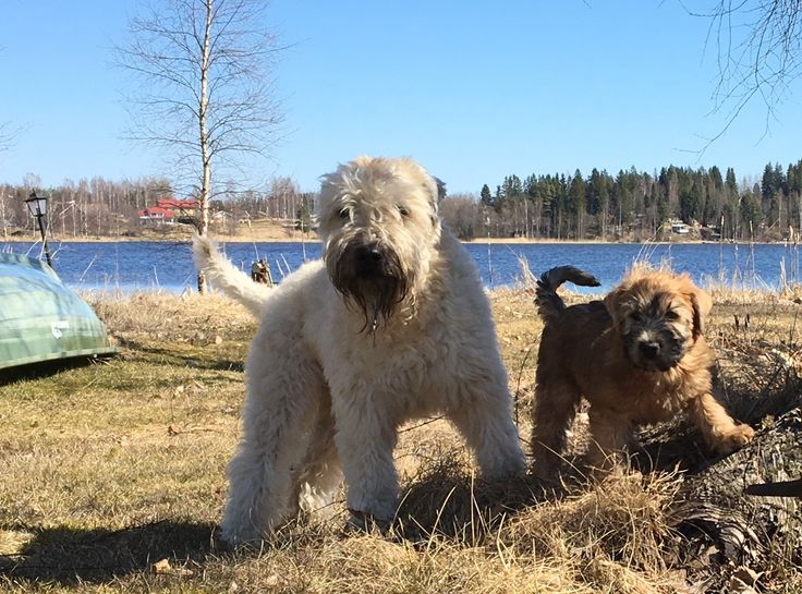 The new one meets Villa Vadelma. Wheaten terriers.