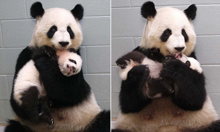 Atlanta Zoo's favorite resident Lun Lun panders to her cub's every need by hugging him as she licks him clean...
