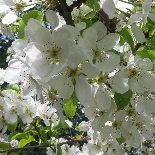 Яблони в цвету - весны творение яблони в цвету - весны кружение ... / Apple trees in bloom - spring creation Apple trees in bloom - spring whir... #весна #morning #russia #moscow #botanicalgarden #россия #москва #ботаническийсад #утро #май #may #apple #яблоня #весна #весна2015 #spring #цветы #flowers #дерево #appletree #morning #goodmorning #leaf #beautiful #красота #applebees #vsco #vsconature #vscogood #apples #flower #город by marvarfo