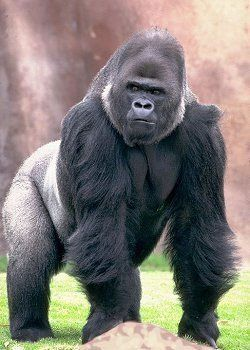 angry silverback gorillas