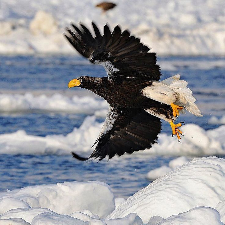 #repost from @natgeo  Photo by @BrianSkerry.  Happy Thanksgiving!  A Stellers Sea Eagle flies over pack ice off Japans Shiretoko Peninsula searching for herring that school just below the surface. These gorgeous birds are categorized as vulnerable by the IUCN but in Japan they are protected as a National Treasure. Through conservation efforts like this we can reverse our impact on the environment and protect our world for future generations. Photographed during winter in Hokkaido on…