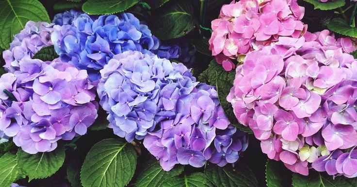 Hortensia's zijn de makkelijkste bloemen om te vermenigvuldigen. Tijd om aan de slag te gaan, want vanaf augustus is het ideaal hortensia's te stekken.