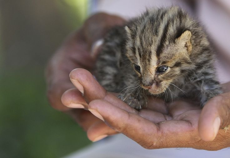 A zookeeper holds a leopard cat kitten during a feeding session in the wildlife rescue center at the Phnom Tamao zoo near Phnom Penh, Cambodia. (Reuters)