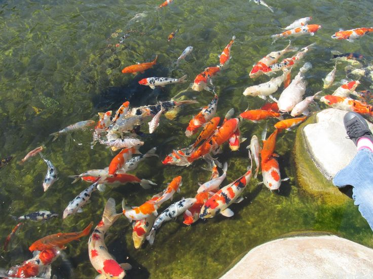17 best images about bassins carpes koi shubunkin on