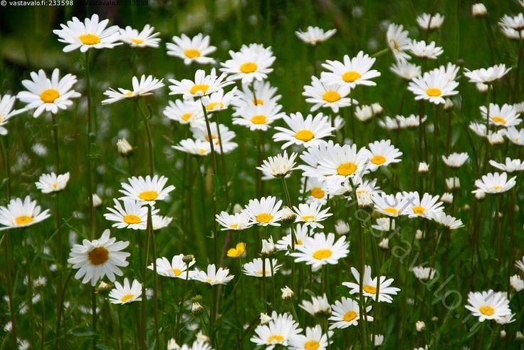 Eksynyt niittyleinikki - päivänkakkara päivänkakkarat Leucanthemum vulgare syn. Chrysanthemum leucanthemum härjänsilmä härjänsilmät kukka kukat kukkia