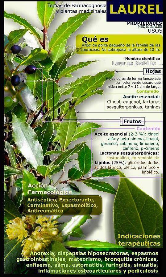 El laurel (laurus nobilis), originario del sur de Europa y el norte de África, es un árbol perennifolio de la familia de las lauráceas que puede alcanzar hasta los 15 metros de altura. El tronco es recto y de color gris oscuro y sus hojas son simples, alternas, elípticas, coriáceas y de color verde apagado …