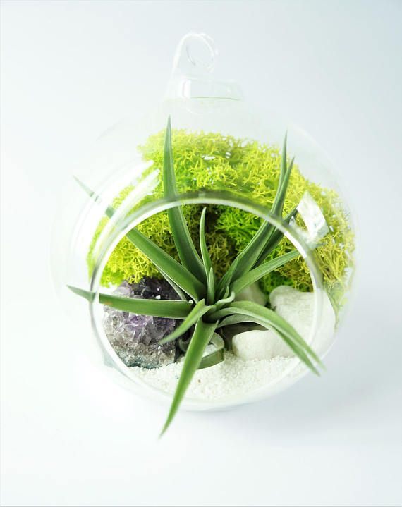 Air plant terrarium kit with Brachycaulos  hanging glass orb