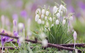 Обои крокусы, макро, боке, весна, подснежники