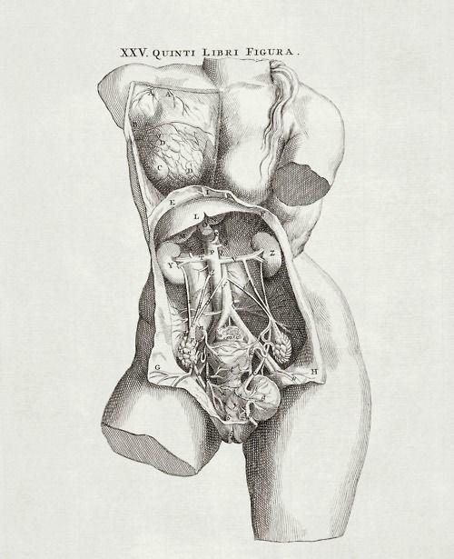 The female pelvic anatomy from De Corporis Humani Fabrica by Andreas Vesalius, 1543