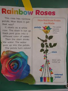 Rainbow/Color Experiment (using one white rose)