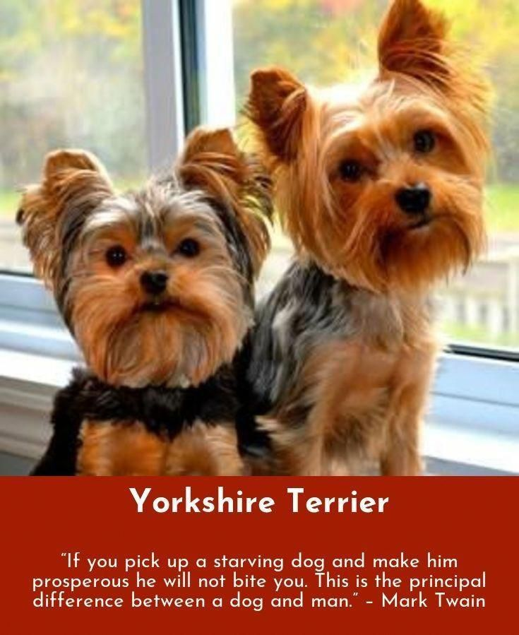 Yorkshire Terrier Energetic And Affectionate Yorkie Potty