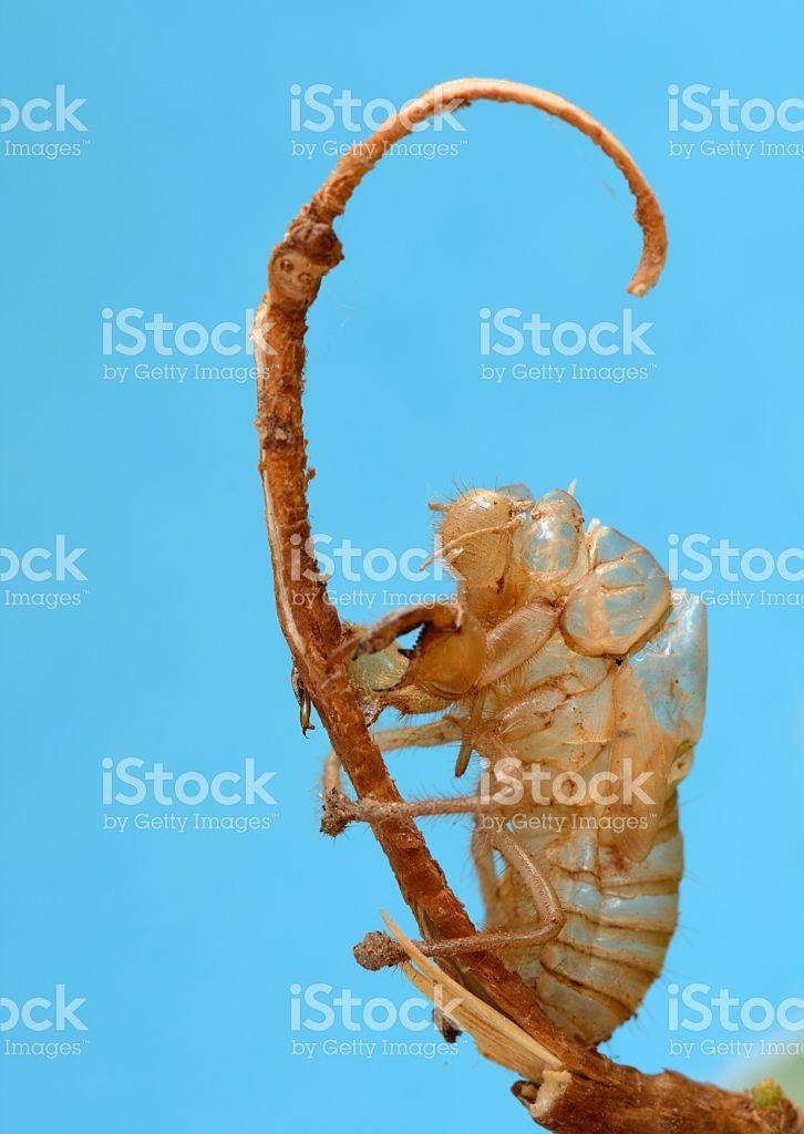 Cicada Insect Exoskeleton royalty-free stock photo