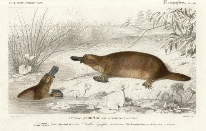 Platypus, steel-engraving with original hand-colouring by Fournier after Edouard Traviès (1809-1865). Circa 1849.