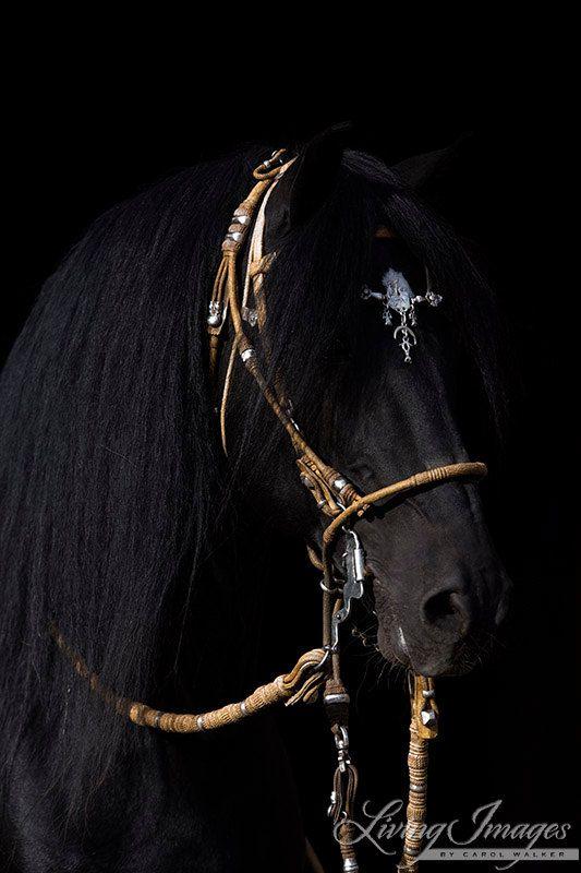 Black Peruvian Paso Portrait  Fine Art Horse por WildHoofbeats, $35.00