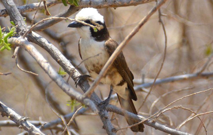 Northern white-crowned shrike, Ruaha, Tanzania. #NorthernWhiteCrownedShrike #WhiteCrownedShrike #RuahaRiverLodge #RuahaNationalPark #TrekkingBureauet #HenryRasmussen