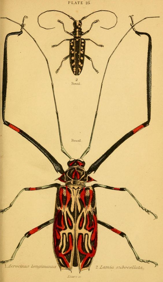 "Plate 25. ""Arcocinus longimanus and harlequin beetle."" The natural history of beetles. 1852."