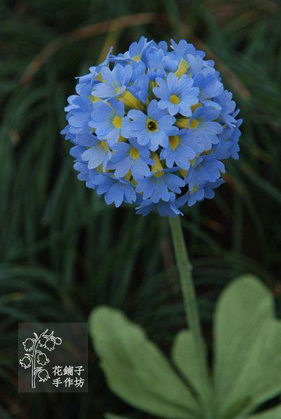 paper flower Primula denticulata subsp.sinodenticulata