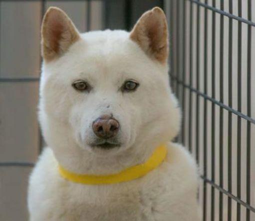 Colorado Springs, CO Shiba Inu. Meet Winter a Pet for