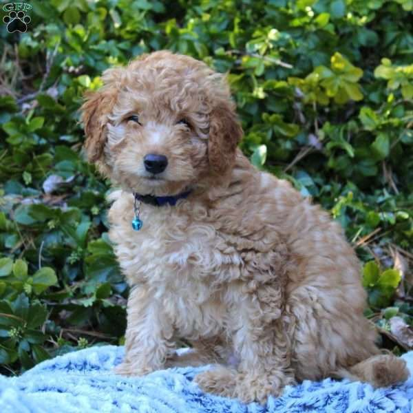 Hunter F1b Mini Labradoodle Puppy For Sale In Pennsylvania