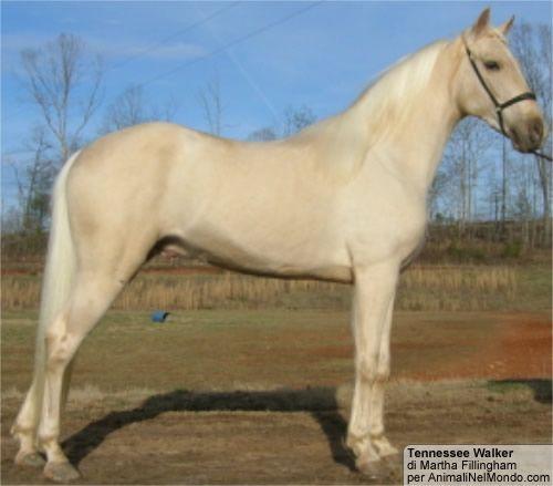 Tennessee Walker | Tennessee Walking Horse o Tennessee Walker