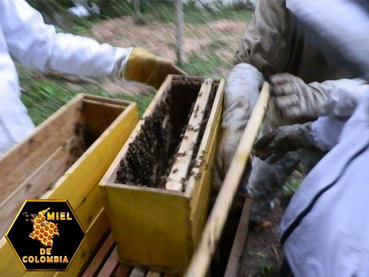"""El alto comportamiento de defensa ha sido la característica más evidente de las abejas africanizadas tanto en la literatura científica como en los medios masivos de comunicación. Algunos medios les han acuñado el mote de """"abejas asesinas"""" y por ello son vistas más como una plaga que como un insecto benéfico, al menos por el público en general. Sin embargo, si bien es cierto que las abejas africanizadas son más defensivas que las europeas, también es cierto que se ha exagerado el problema."""