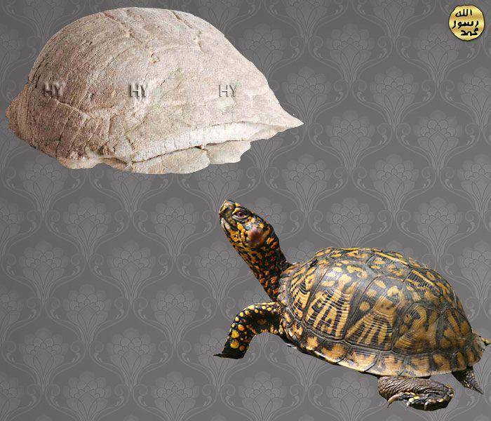 Kaplumbaga http://dusuneninsanlaricin.com/30-fosilde-evrim-teorisinin-cokusu/