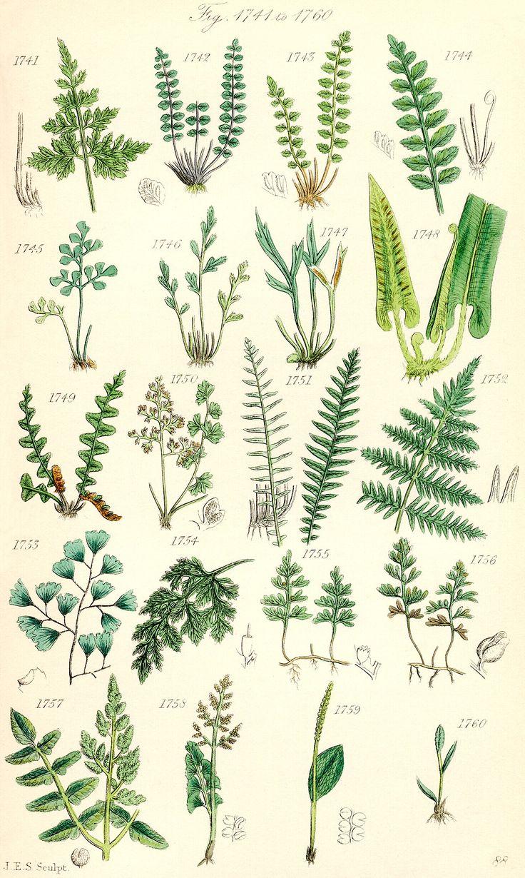Ophioglossaceae and Botrychium