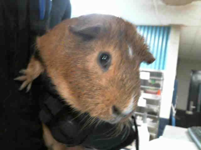 Benji ~ I can be identified by Animal Care & Control as A1089534.  I appear to be an unaltered male, brown Guinea pig.  The shelter staff think I am about 1 year old and I weigh 2 pounds.  I was picked up in Charlotte.  I have been at the shelter since May 07, 2015.  I am available for adoption. Animal Care & Control, Charlotte-Mecklenburg Police Department  8315 Byrum Drive  Charlotte, NC 28202 Phone Number: (704) 336-3786