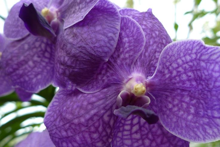 Beautiful purple vanda orchid