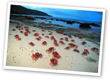 Red Crab migration on Christmas Island, AUS. Nov - Jan