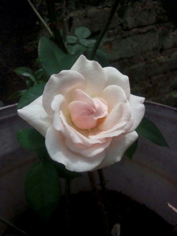Day first, blossom #whiterose