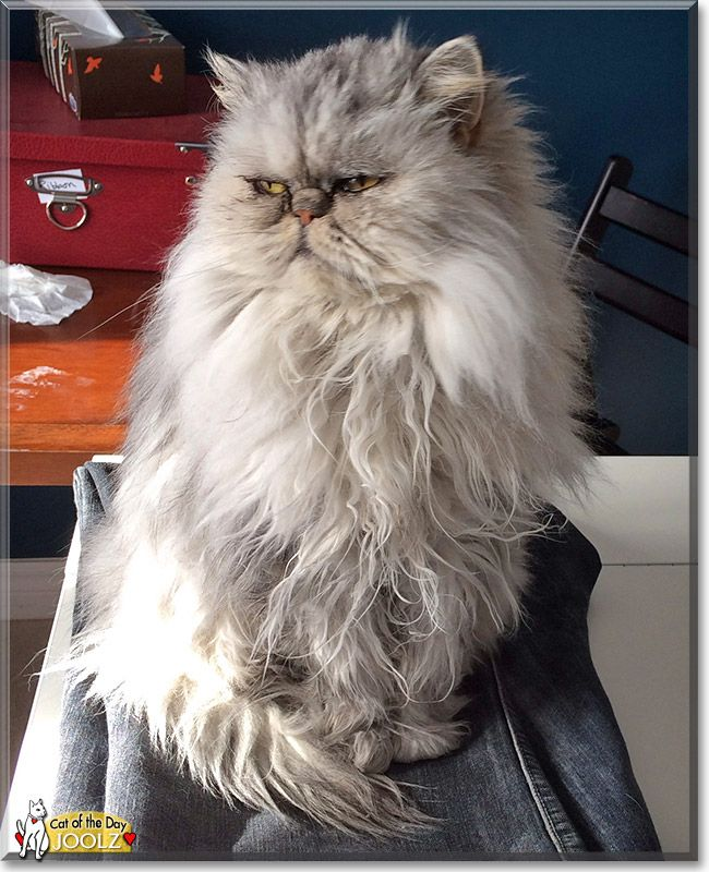 how to look after a persian cat