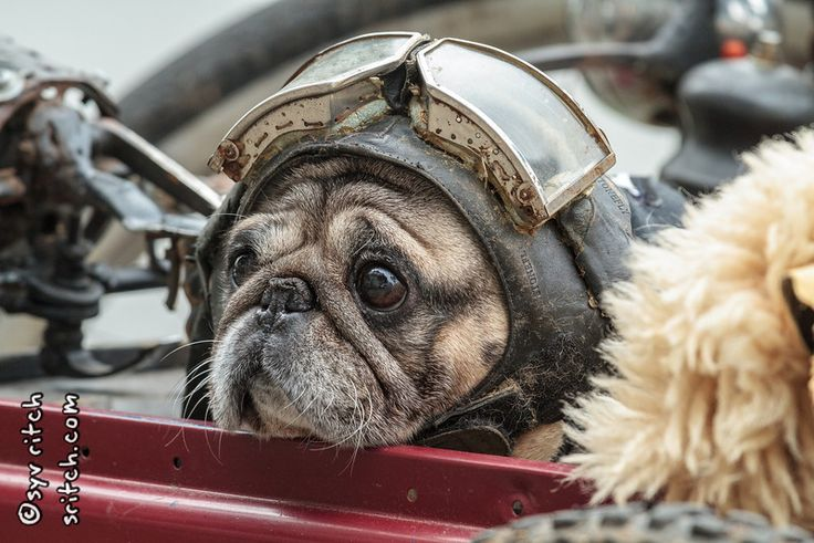 Yoda Is An Old Pug He Wears Ride In A Sidecar Designed