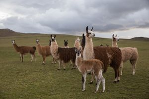 Las alpacas a diferencia de cabras y ovejas no provocan la desertificación del terreno en el cual pastan.