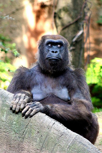 "'Gorilla Stare' - photo by Evan (Evan Animals), via Flickr;  ""This beautiful female Gorilla at the Bronx Zoo sat down and ONLY moved her eyes, it was so funny. She had a proper pose and had such googalie eyes."""