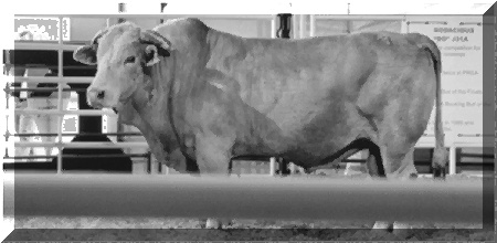 Bodacious, one of the greatest bucking bulls of all time, was inducted in the ProRodeo Hall Of Fame in Colorado Springs, Colorado, on August 14, 1999. Bodacious was the PRCA Bucking Bull of the year in 1994 and 1995; in addition to being named The Bucking Bull at the National Finals Rodeo in 1992, 1994 and 1995. The 1,900-pound Charbray bull injured some of the most talented championship bull riders in the history of the sport.