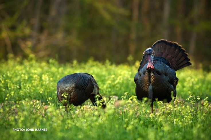How and Where to Hunt Late Season Turkeys http//www