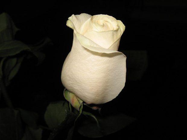 El significado de las rosas blancas