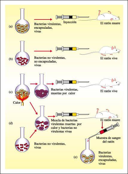 En 1928Friedrich Griffithrealizoun experimento en ratas de laboratorio empleando dos sepas diferentes del  streptococus pneumoniae una...