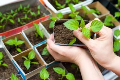 Vegetable Gardening  Starting vegetables indoors from seed.